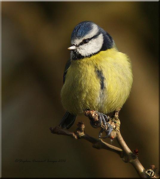 Blue Tit by StephenDurrant
