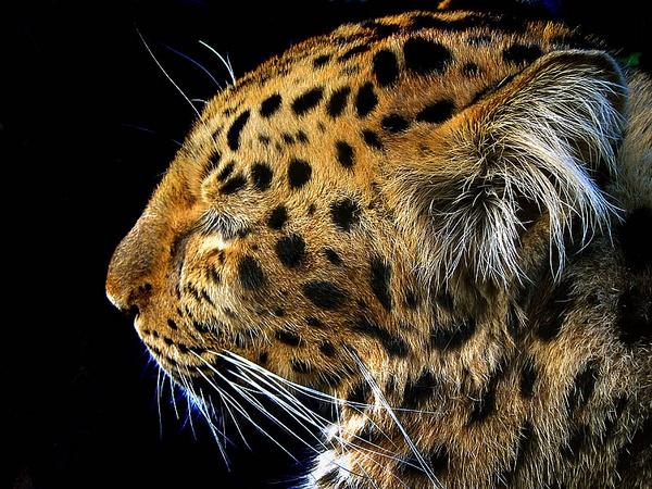 Asiatic Cat