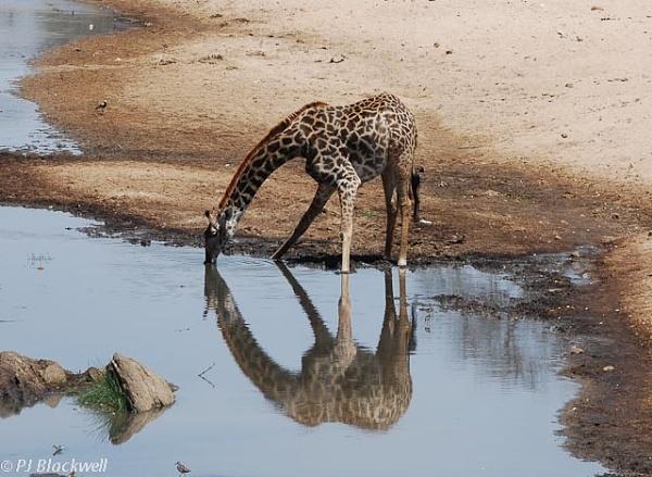 Giraffe drinking by peggyb