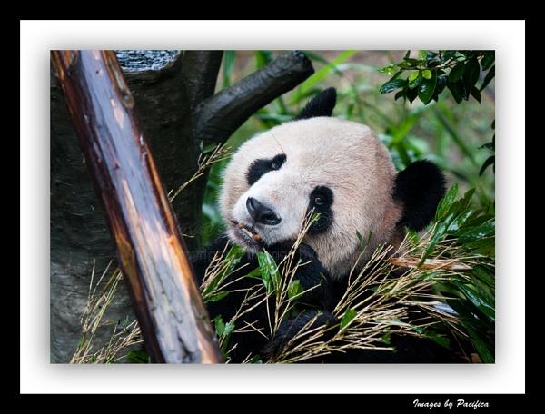 Panda Eyes by Pacifica