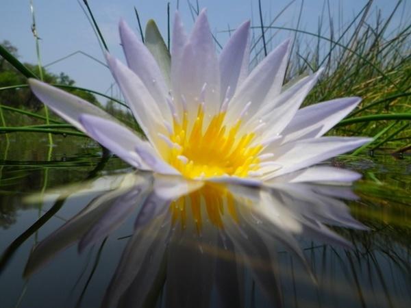 Waterlily by Msalicat