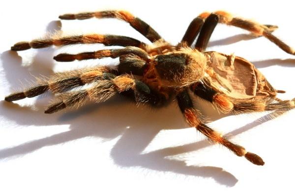 Exo skeleton of a tarantula spider by thermosoflask