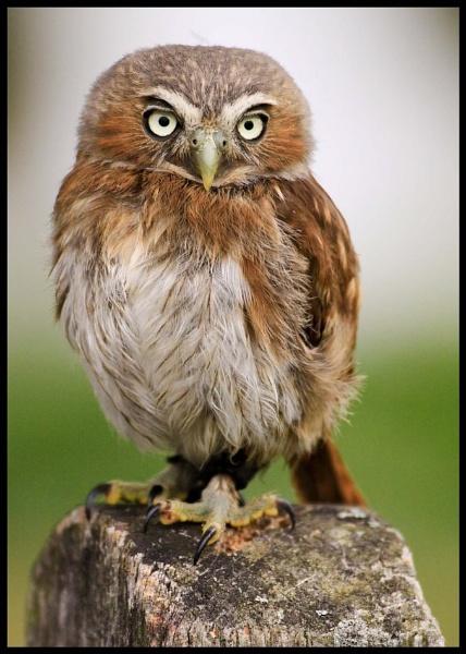 Pigmy Owl by JoHa