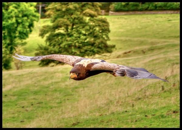 Bateleur Eagle by JoHa