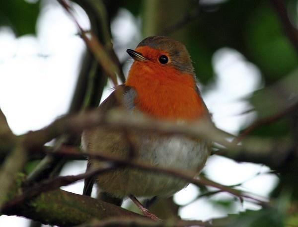 My friend Mr Robin by Mozzytheboy