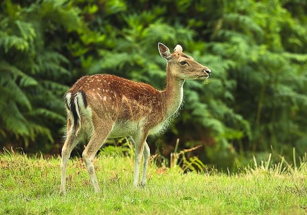 Deer by MD2009