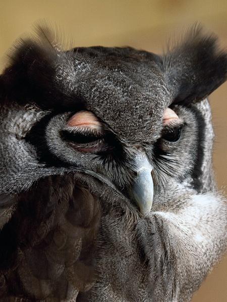 Milky Owl by bppowell