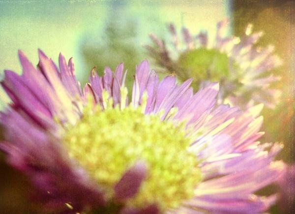 michaelmas daisy - gold texture by dog ma by betttynoir