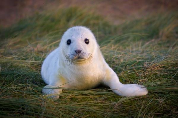 Newborn grey seal pup by carbonbianchi