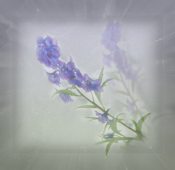delphinium 3 by maywee