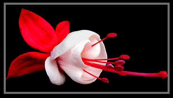Fuchsia by derekv