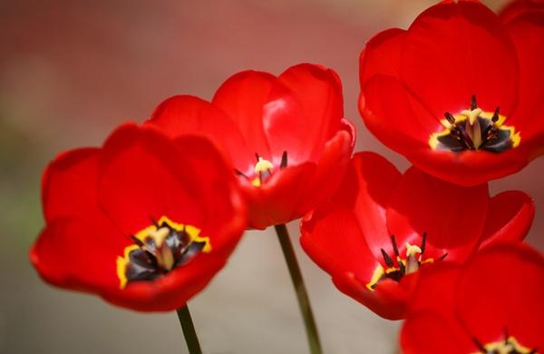 Tulips by KJackson