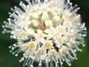 Fatsia Japonica Flower by KJackson