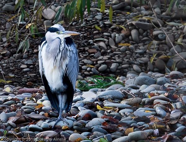 heron by dwarf
