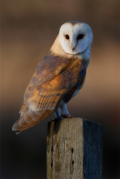 Barn Owl Workshops by nigelpye