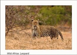 Wild Africa: Leopard