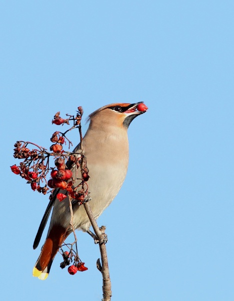 Waxwing by Karen_Summers