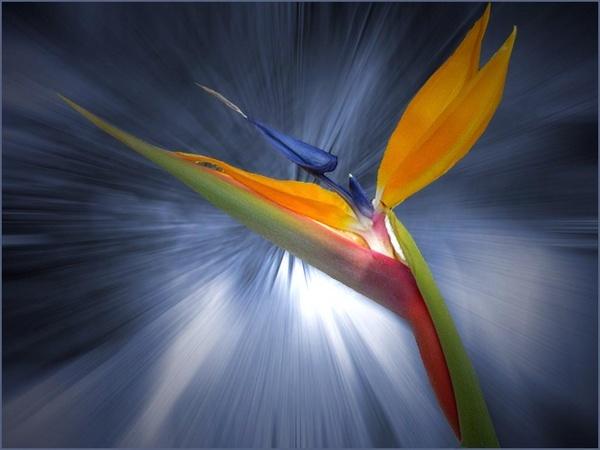 Bird of Paradise 2 by csopi