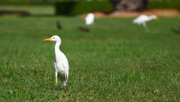 Great White Egret by AneesKarakkad
