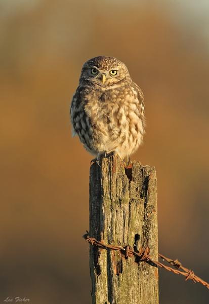 AUTUMN LITTLE OWL by LeeFisher