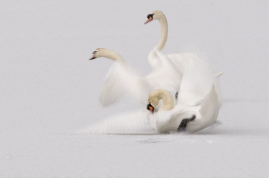 Swan Lake gone wrong!!! by jeb2012