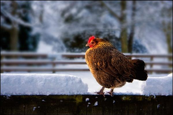 Frozen Chicken by stevenb