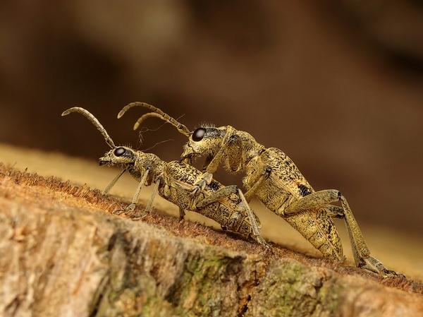 two beetles by Benas