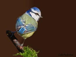 Blue Tit Cyanistes, caeruleus
