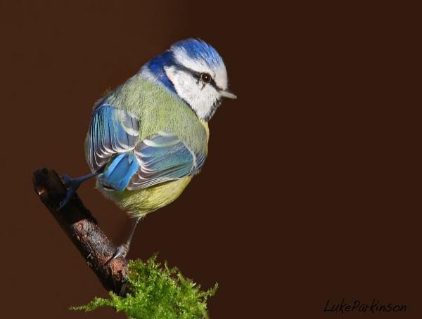 Blue Tit Cyanistes, caeruleus by LukeParkinson