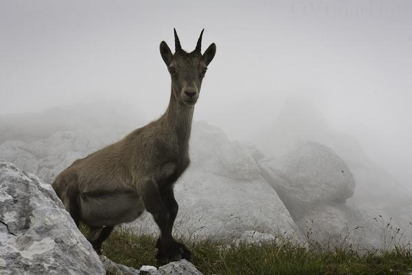 Ibex by OVrtnarHigi
