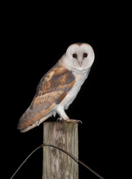 Barn Owl by kieranmccay