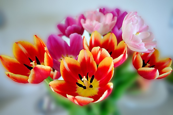 Firery Tulips by Viper13