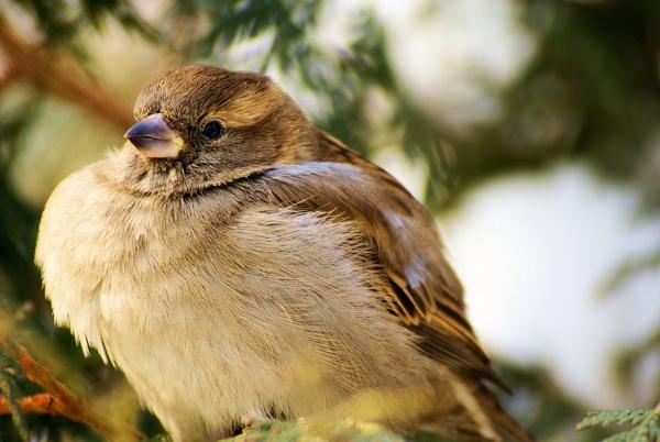 Sparrow by gabriel_flr