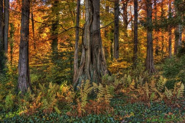 Coast Redwood-(Sequoia sempervirens) by 1Wizzard1