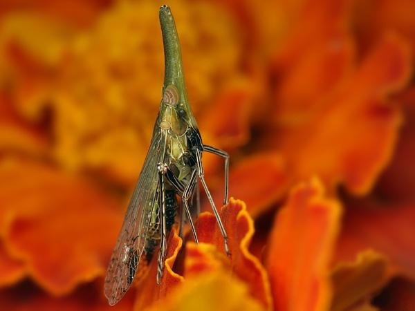 Twig snouted bug by zanzibarwinds