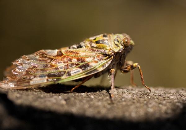Cicada by Lakeyw