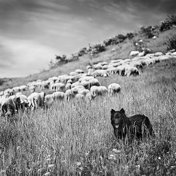 Shepherd by t0m