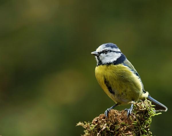 Blue Tit by dweezil