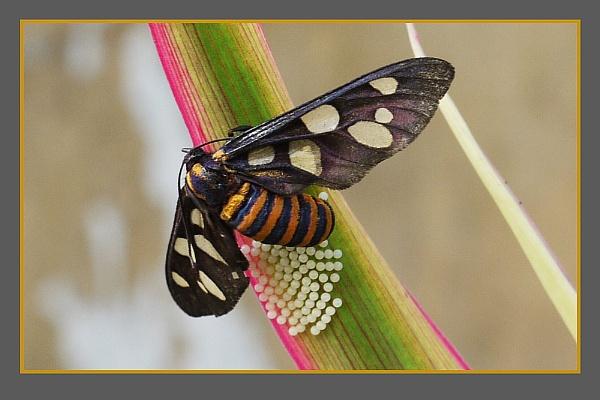Six Spot Moth 1,2,3&4 by prabhusinha
