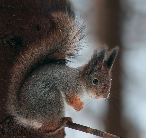 red squirrel by Sergey_SG