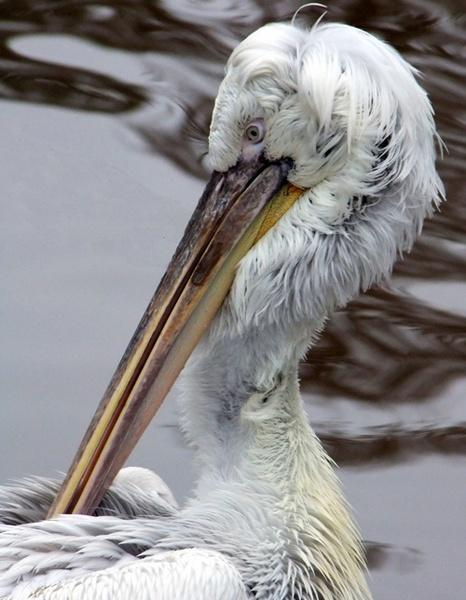 Preening Pelican by lindaphipps
