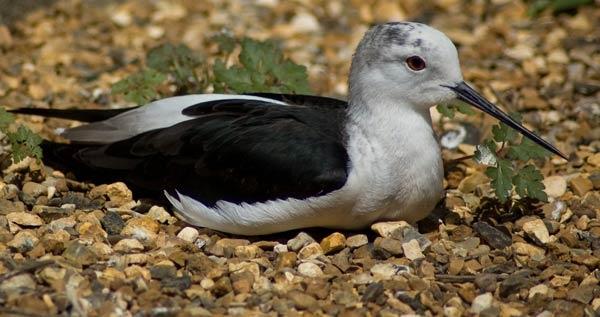 Black and white bird. by wennyb