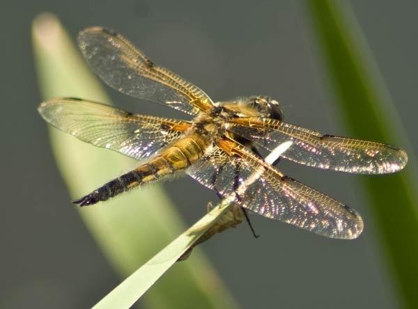 Dragonfly by wennyb