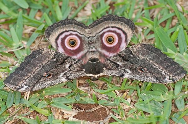 Emperor moth by Shutterlad