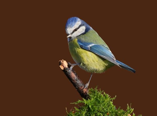 Blue Tit Cyanistes caeruleus by LukeParkinson