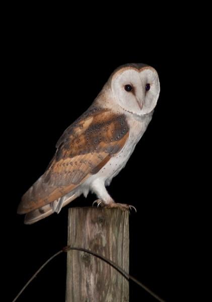 Barn Owl 2 by kieranmccay