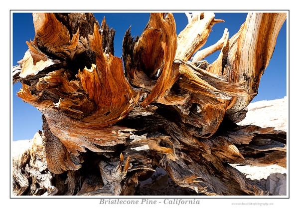 Bristlecone by Weirdfish695