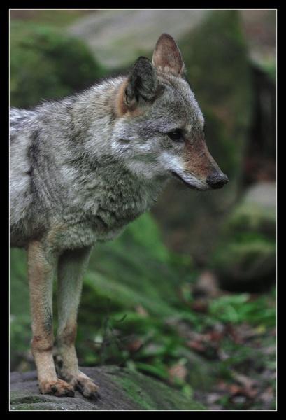 Foxy by co