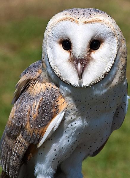 Barn Owl by pdsdigital