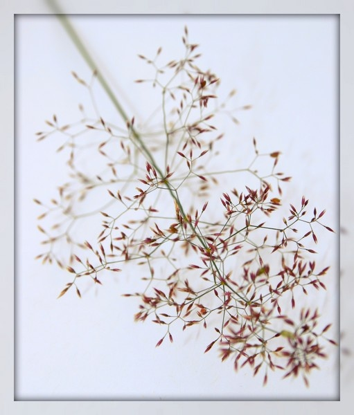 Grass flower by Spangle2008